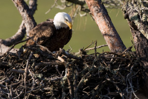 Bald Eagle at the Nest